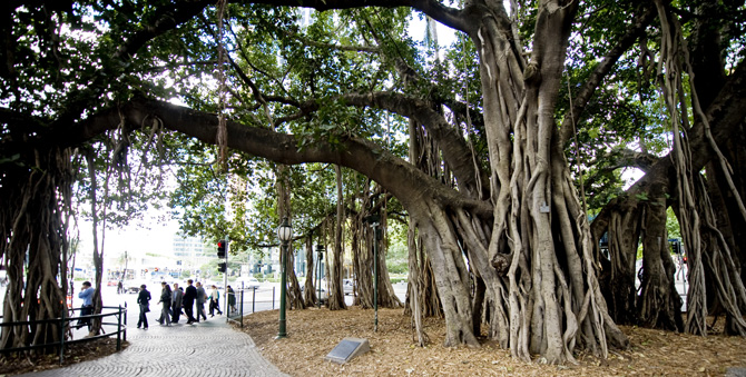 Eagle street fig trees picture tour brisbane australia for Small garden trees queensland
