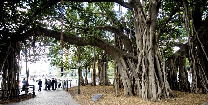 Figtree Australia  City pictures : Eagle Street Fig Trees Picture Tour Brisbane Australia