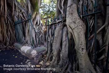 Fig Trees at Botanic Gardens, Fence
